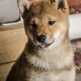 щенок (мальчик) сиба-ину (шиба) рыжий, Новосибирск