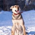 Обаятельная хулиганка собака Алёнка в поисках дома, Новосибирск