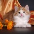 Котенок Нежный Огонёк!, Новосибирск