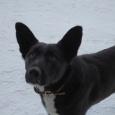 отдается собака на охрану дома, Новосибирск