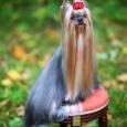 Продается щенок йоркширского терьера, девочка, Новосибирск