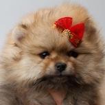 Профессиональный питомник продает щенка миниатюрного шпица,, Новосибирск