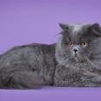 Шикарные британские котята, Новосибирск