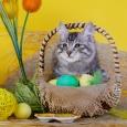 котенок курильский бобтейл Ешка, Новосибирск