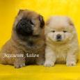 Так хороши щенки Чау-малыши, Новосибирск