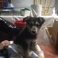 отдается щенок выростит по калено,помесь с фоксам, Новосибирск