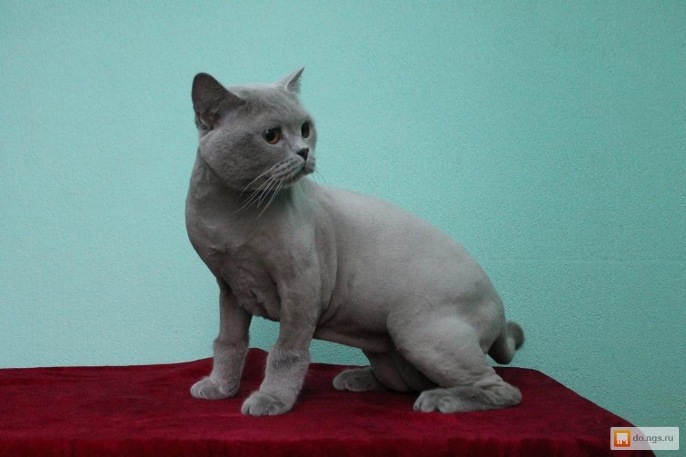 Стрижка британской кошки