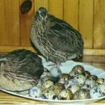 яйца перепелов, Новосибирск