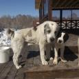 Продам щенков САО, Новосибирск