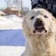 Собака Азиатка в хорошие руки, Новосибирск