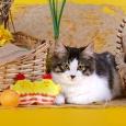 курильский котенок бобтейл Джессика, Новосибирск