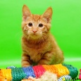 Рыжее чудо Гаврюша-котенок от Чемпиона Мира WCF, Новосибирск