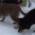 Щенки (овчарка - метис), девочки, Новосибирск