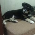 отдается щенок девочка Варенька, Новосибирск