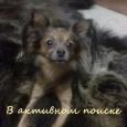 Вязка той-терьер русский, Новосибирск