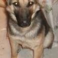 Отдам в хорошие руки чепрачного щенка 8,5 месяцев, Новосибирск
