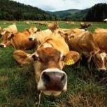продажа крупно-рогатого скота, Новосибирск