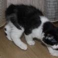Продаётся котенок курильского бобтейла, Новосибирск