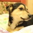 щенки - метисы таксы ищут дом, Новосибирск