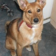 Отдам красивую огненную собаку Джулию, Новосибирск
