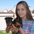 Щенки вельштерьера. Для тех кто даст ребятенку много заботы и любви!, Новосибирск