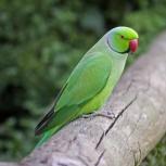 Ожереловые попугаи, Новосибирск