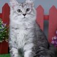 Настоящая леди - Шелли (кошка), Новосибирск