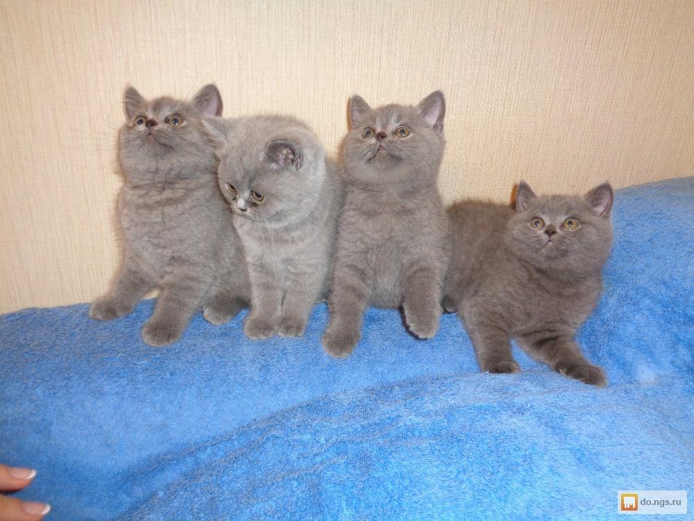 фото британских котят голубого окраса