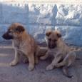 Щенки крупной собаки, Новосибирск