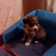 отдадим щенка помесь, мать немка, мальчик, Новосибирск