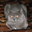 Породистые британские котята, Новосибирск