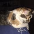 Продам котенка курильского бобтейла, Новосибирск
