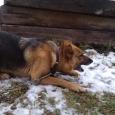 щенок овчарки даром, Новосибирск