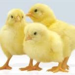 цыплята бройлер возраст от суток до 2,5 месяцев с адресной доставкой, Новосибирск
