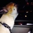 отдается шикарный  подросток-щенок 4,5 месяцев, Новосибирск