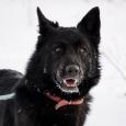Пёс Нельсон ищет дом, Новосибирск