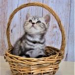 Продам британских чистопородных котят с родословной, Новосибирск