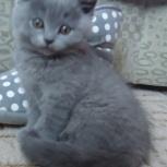 котята русской голубой, Новосибирск