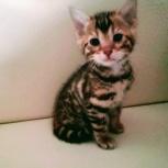 Чистокровные бенгальские котята, Новосибирск