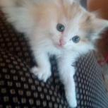 Кошечка трехцветная в добрые руки, Новосибирск