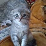 Британские котята, Новосибирск