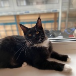 Мейн-Кун, Котёнок девочка, Новосибирск