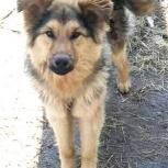 Ласковый , шелковистый щенок., Новосибирск