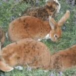 Продам кроликов рексов, Новосибирск
