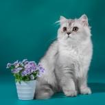 Очаровательный британский котик, Новосибирск