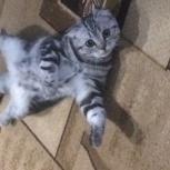 Ищем для вязки для кошки, Новосибирск