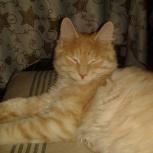 Отдам кота. Курильский бобтейл, 4 года., Новосибирск