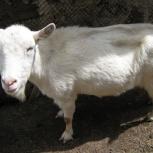 Дойные козы заанинской породы, Новосибирск