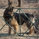 найдена красивая овчарка, Новосибирск