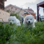 Щенки самоедской собаки., Новосибирск